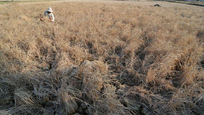 Luas Lahan Gagal Panen Naik Jadi 31.000 Hektare per Juli