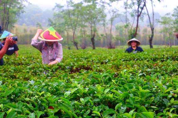 Main ke Malang? Jangan Lupa Hirup Udara Sejuk di Kebun Teh Wonosari