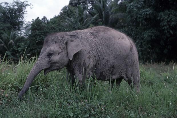 Seekor Gajah Liar Rusak Sawit Warga di Inhu