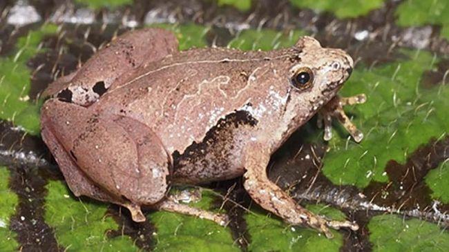 Katak Jenis Baru 'Gadjah Mada' Ditemukan di Sumatera