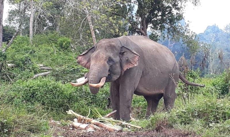 Delapan kantong gajah di Riau kritis, gajah sumatera berpeluang alami kepunahan lokal