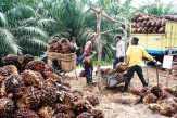 Ekspor Sawit Indonesia Rontok 77 Persen