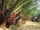 Segera Dieksekusi, Kebun Sawit PTPN V di Riau Harus Dijadikan HTI