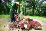 Disbun Riau Kesulitan Tentukan Luas Kebakaran Sawit