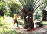 Reses DPRD Rohil, Anjloknya Harga Sejumlah Komoditas Perkebunan Paling Banyak Dikeluhkan