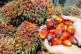 Harga TBS Kelapa Sawit di Riau Pekan Ini Naik