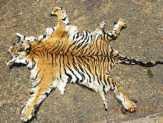 2 Warga Inhu Ditangkap Saat Transaksi Kulit Harimau Sumatera Sepanjang 2 Meter