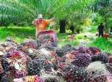 Petani Sawit Menjerit, Perusahaan Harus Terbuka dan Wajib Diawasi