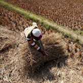 Sawah Gagal Panen Bertambah 70% Jadi 30.000 Hektar