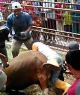 Mau Disembelih, Sapi Kurban di Dumai Malah Banting Tukang Jagalnya