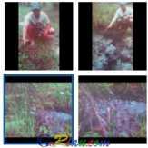 Bertahun-tahun Tuntutan Diabaikan, 500 Hektare Lahan Warga Kandis Siak Tercemar Limbah Minyak Mentah