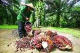 Harga Sawit Riau Terus Merangkak Naik
