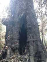 Kebakaran Hutan, Pohon Tertinggi Ini Tetap Kokoh