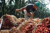 Pekan Ini Harga TBS Sawit Riau Naik Rp123 per Kg