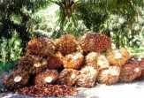 Harga Sawit di Riau Perlahan Naik, Berikut Penetapan Harga TBS Minggu Ini