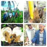 Hutan Dibabat PT IJA, Kebun Kelapa Warga Inhil Disebut Hama Kumbang