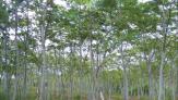 Mengenal Pohon Sengon, Diduga 'Biang Kerok' Pemadaman Listrik