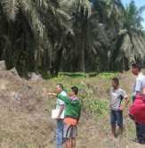 Bersihkan Pelepah Sawit, Buruh Sawit PT. Torganda Rohul Tewas Kesetrum