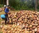 Rp 500 Per Butir, Harga Jual Kelapa di Pelalawan Makin Terpuruk