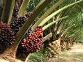 Kegiatan Replanting Tanaman Sawit Dibantu Bank Riau Kepri