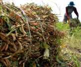 Petani Rumbai Hasilkan Kedelai Berkualitas